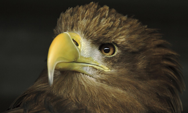 Sea eagle close-up (Pic: Shaun)