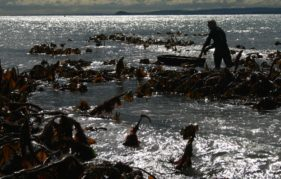 Harvesting seaweed on the Scottish coast. Photo courtesy of www.maraseaweed.com