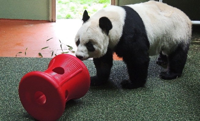 Tian Tian plays with her new bobbin at Edinburgh Zoo. Photo courtesy of RZSS.