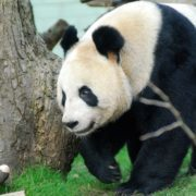 Giant Panda Tian Tian takes a stroll around the Panda enclosure at Edinburgh Zoo. Photo courtesy of RZSS.