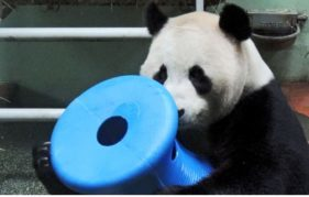 Yang Guang plays with his special new panda toy! Photo courtesy of RZSS.