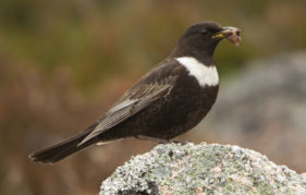 A ring ouzel or mountain blackbird