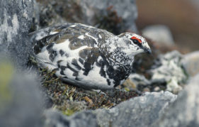 A male ptarmigan blending into its surroundings in the Cairngorms (Pic: Laurie Campbell)