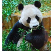 Dinner time for Yang Guang! Photo courtesy of RZSS.