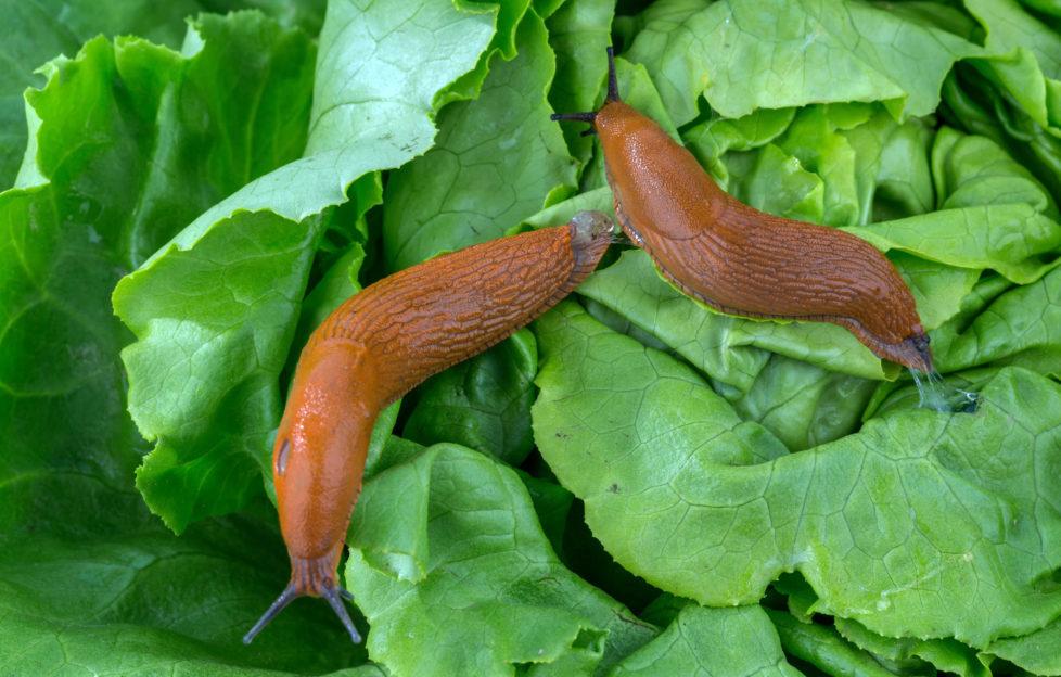 Beware salad leaves' biggest fan: the slug! Pic: Shutterstock
