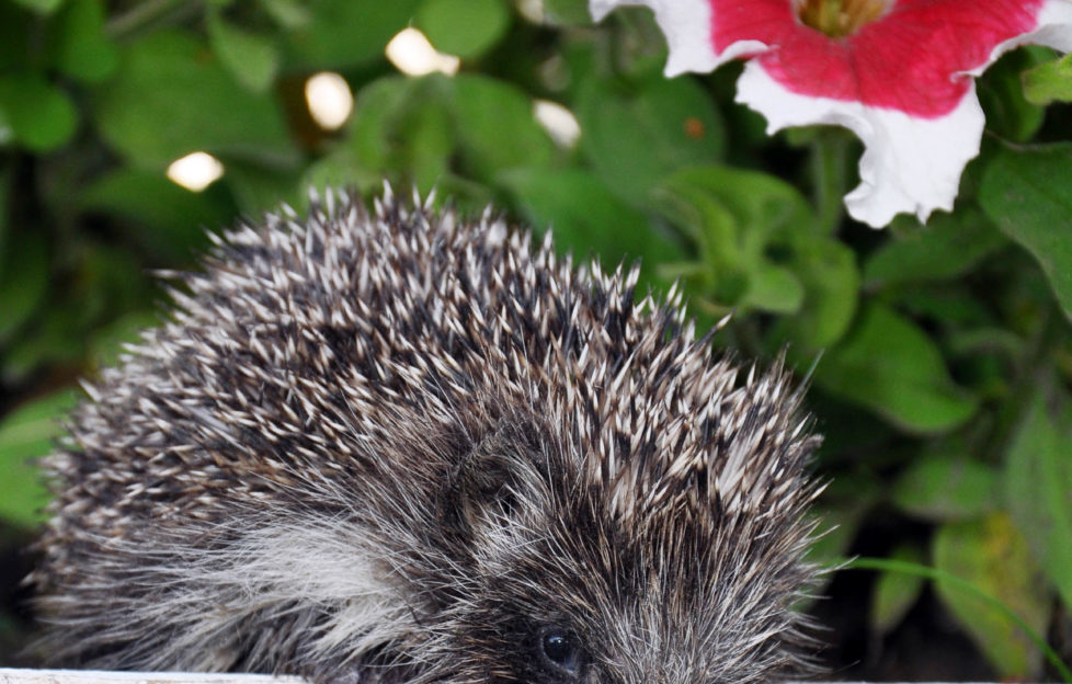 It's best to feed hedgehogs meat-based pet food, rather than milk or bread. Pic: Shutterstock