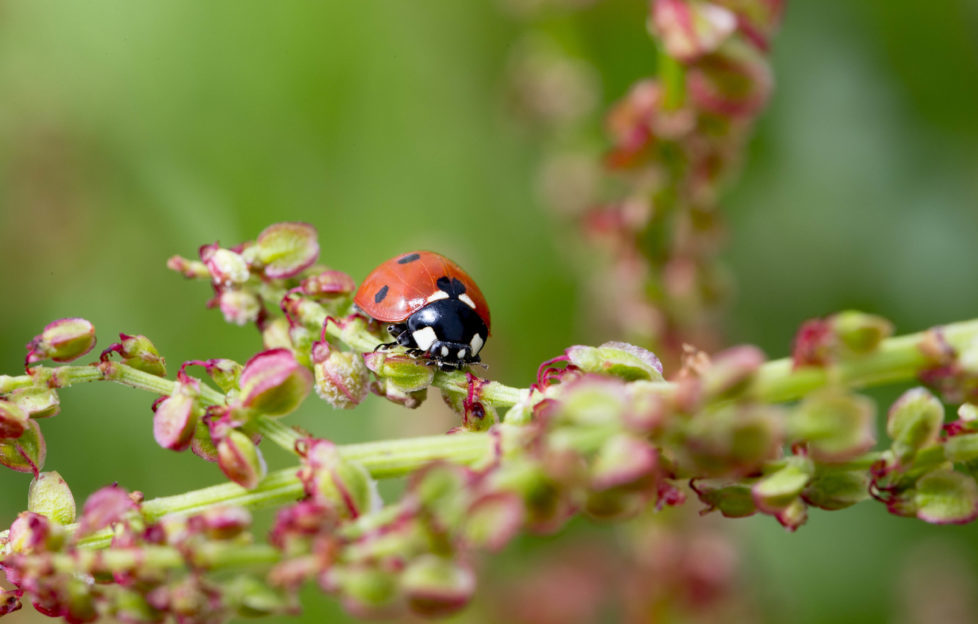 Ladybirds keep plants healthy by eating pesky greenfly! Pic: Shutterstock