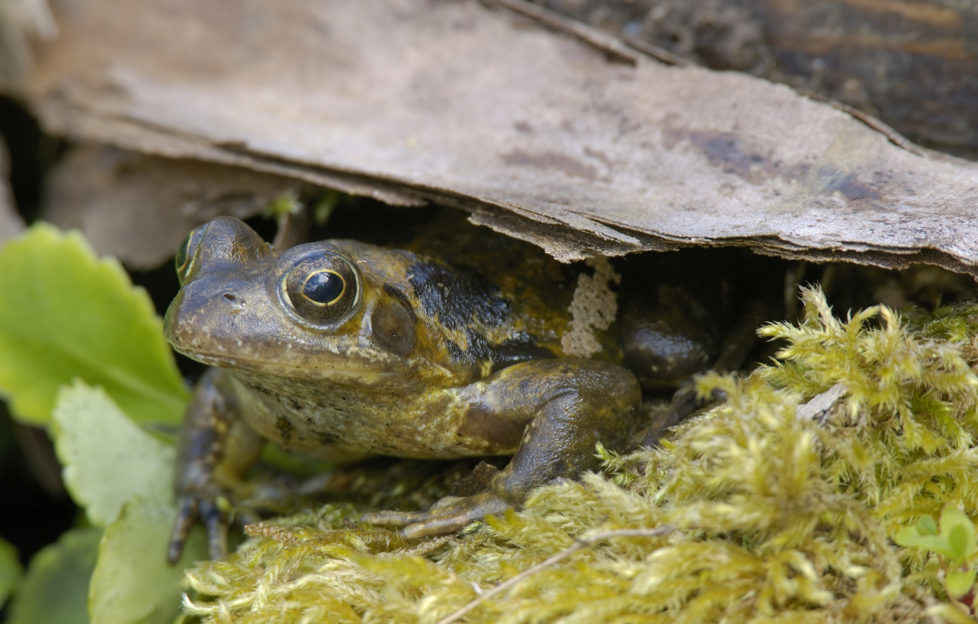 Frogs and toads are great at keeping slugs at bay. Pic: Shutterstock