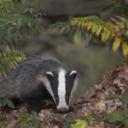 Jim Crumley is on the badger trail. Pic: Danny Green