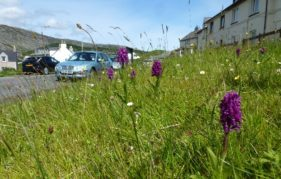 A wild flower festooned verge on Harris. Photo courtesy of Plantlife