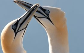 Gannets on the Bass Rock. Photo by Gareth Easton