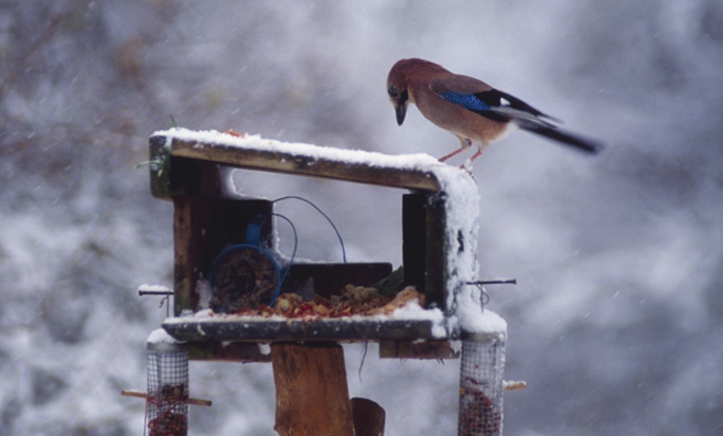 Look out for jays on bird tables