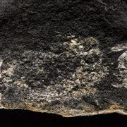 One of the fossils on show at the Fossil Hunters exhibition. © National Museums Scotland