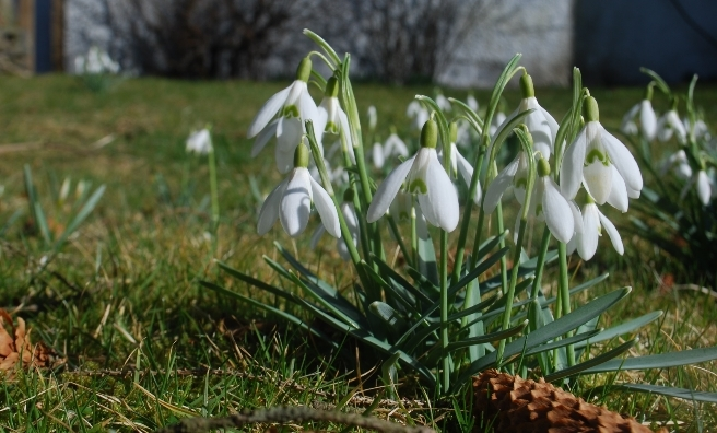 Snowdrops in sunshine! Photo courtesy of Cottages & Castles