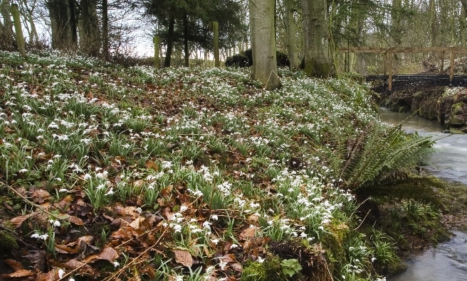 A CARPET OF SNOWDROPS IN THE WOODLANDS AT CAMBO HOUSE AND GARDENS, KINGSBARNS, NR ST ANDREWS, FIFE. PIC: P.TOMKINS/VisitScotland/SCOTTISH VIEWPOINT