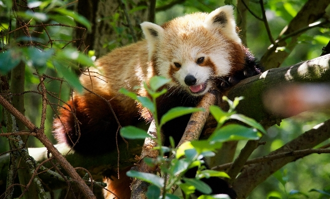 A red panda exploring the treetops at The Highland Wildlife Park. Photo by Alex Riddell courtesy of RZSS.