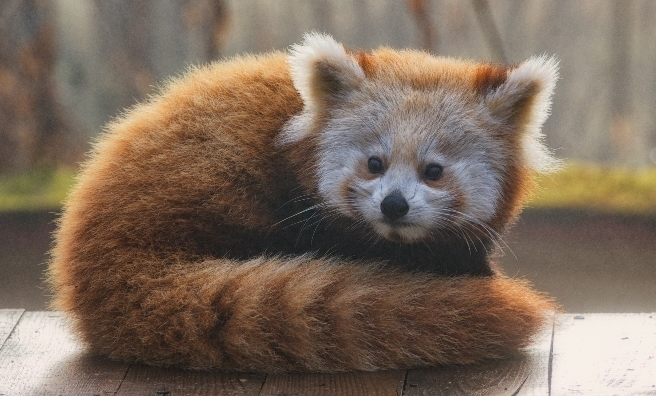 Could baby red pandas be any cuter?! A red panda kit at The Highland Wildlife Park. Photo courtesy of RZSS.