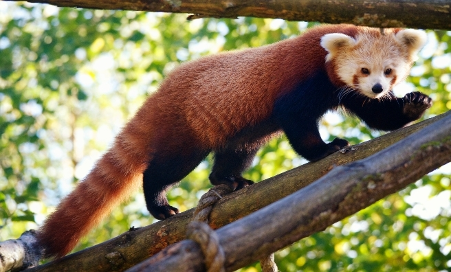 A red panda at The Highland Wildlife Park. Photo by Alex Riddell, courtesy of RZSS.