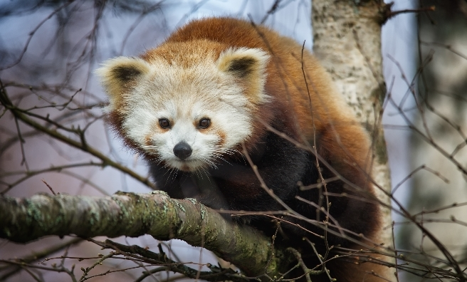 A red panda high in the trees at The Highland Wildlife Park. Photo by Alex Riddell, courtesy of RZSS.