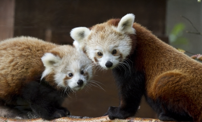 Kitty and Kush, red pandas at The Highland Wildlife Park. Photo by J Orsi, courtesy of RZSS.