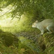 A dreaded grey squirrel. Photo courtesy of National Trust for Scotland