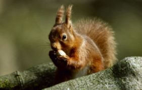 Red squirrels appear to be returning to our countryside. Photo courtesy of National Trust for Scotland