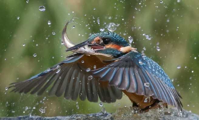 Kingfisher With Fish by Bob Humphreys. Courtesy of Scottish Seabird Centre Nature Photography Awards