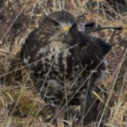 The common buzzard - beautiful, but deadly
