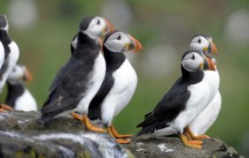 A few of the very photogenic residents of the Isle of May. Photo by Greg Macvean