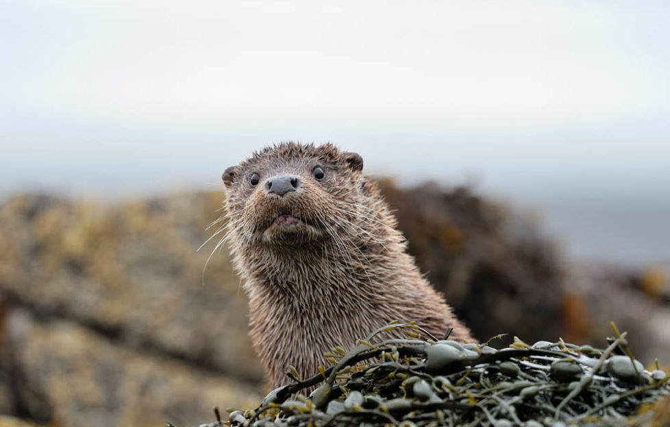 """Otters pop up to say """"Hello!"""" on Mull. Pic: Laurie Campbell"""