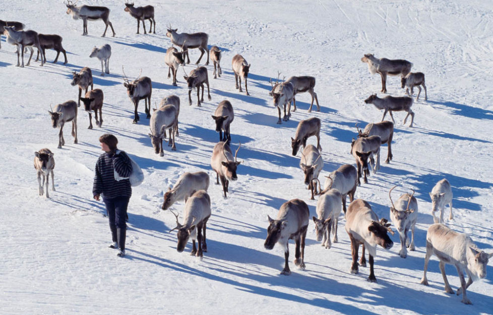 Reindeer in the Cairngorms. Pic: Laurie Campbell