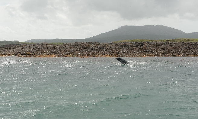 A few of the seals who accompanied us on our trip to Eriskay