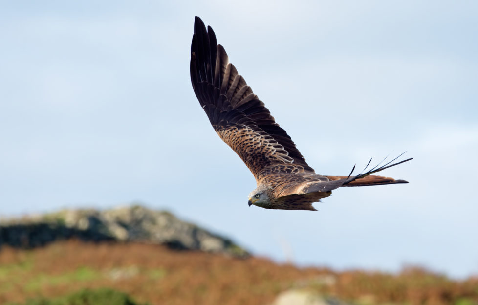 Red Kites on the wing are a magnificent sight. Pic: Laurie Campbell