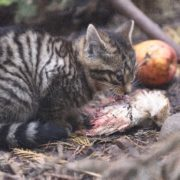 Lunch time for one of the wildcat kittens. Photo courtesy of RZSS/Alex Riddell