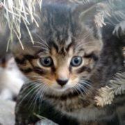 A stunning wildcat kitten. Photo courtesy of RZSS/Jan Morse