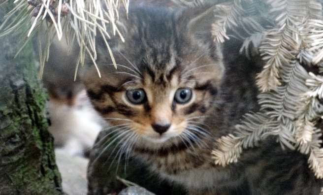 A stunning wildcat kitten. Photo courtesy of RZSS/Jan Morse