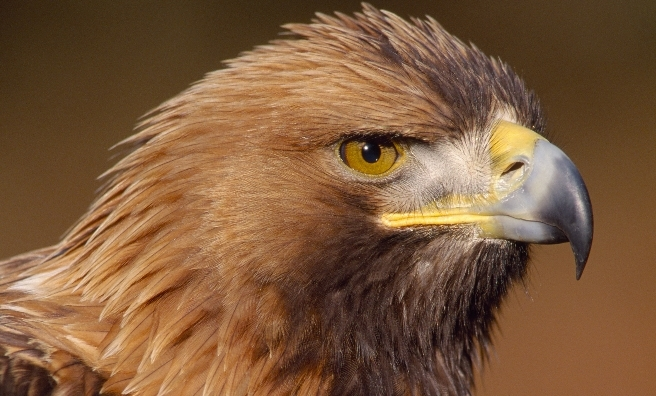 A Golden Eagle photographed in Southern Scotland. Photo copyright Laurie Campbell
