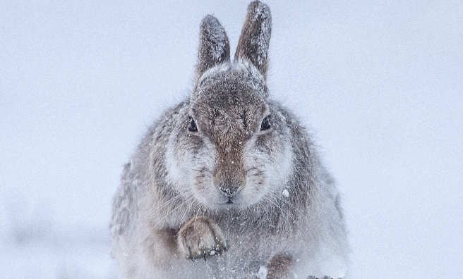Snow Hare by Rosalind McFarlane, Wildlife Photographer of the Year 2015.