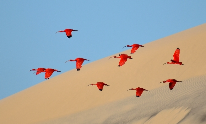 Flight of the scarlet ibis by Jonathan Jagot, Wildlife Photographer of the Year 2015.