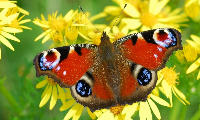A stunning Peacock butterfly. Photo by Jim Black