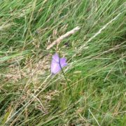 A Scottish harebell adds colour to the track across Meigle Hill