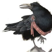 The Rook - 'A Hieland bard wi a wickit keckle'