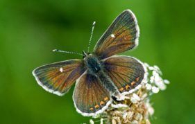 The Northern Brown Argus - Edinburgh's very own butterfly