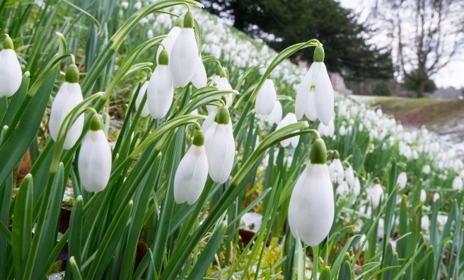 Snowdrops at Dryburgh Abbey, Melrose. Photo courtesy of Discover Scottish Gardens