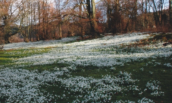 A carpet of snowdrops at Kailzie Gardens in Peebles. Photo courtesy of Discover Scottish Gardens