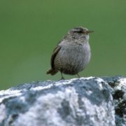A tiny St Kilda Wren. Pic courtesy of National Trust for Scotland
