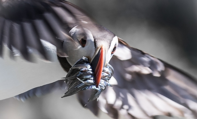 Beverley Thain's winning puffin photo.