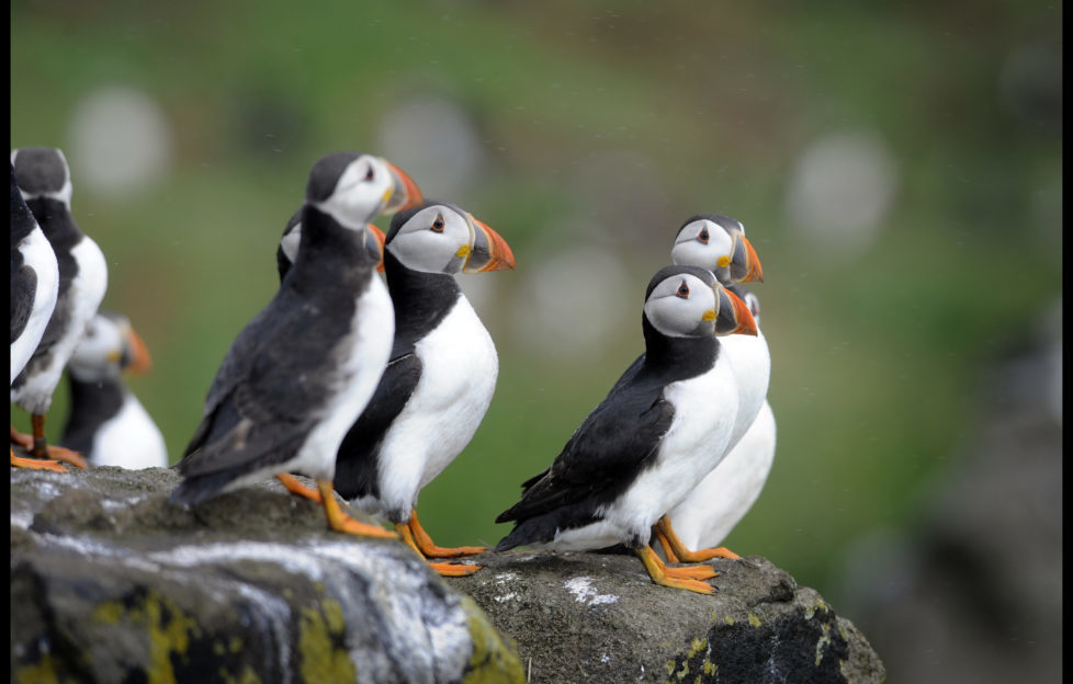 Spot puffins on the Isle of May. Pic: Greg Macvean