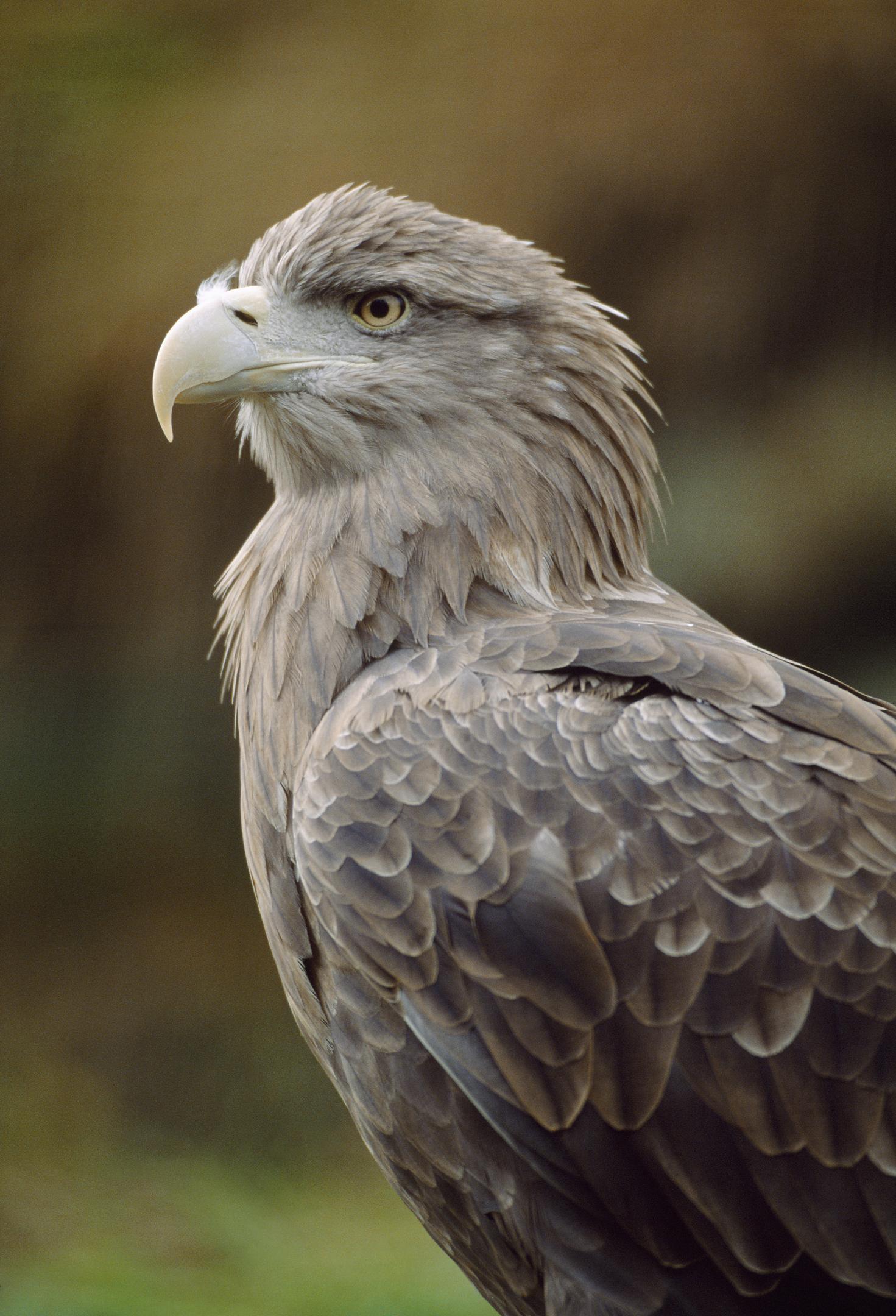 sea eagle scottish wildlife