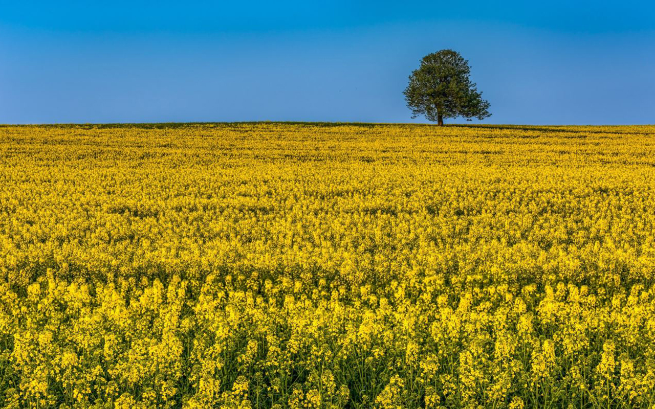 """Rapeseed fields in Kircaldy."" John Pow, @Johnpow1 on Twitter."